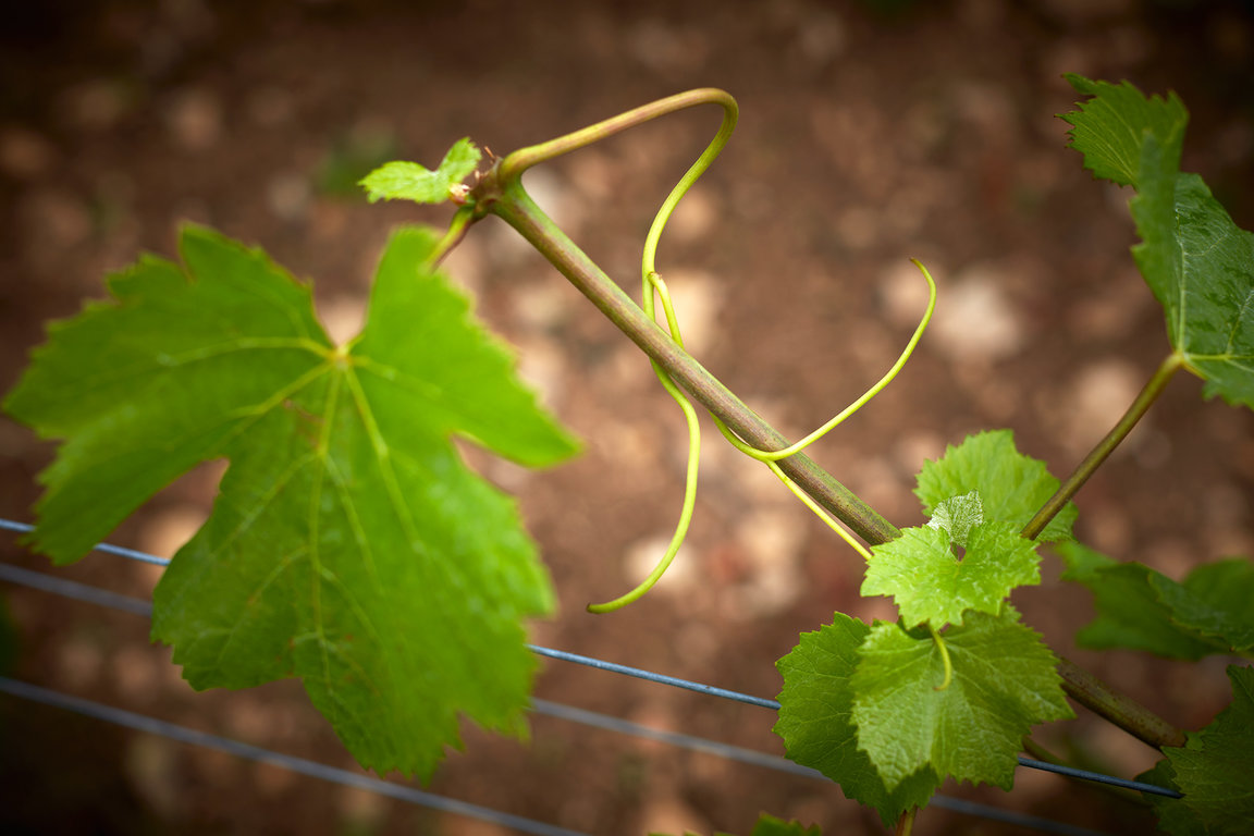 Vine at Domaine Michel Magnien