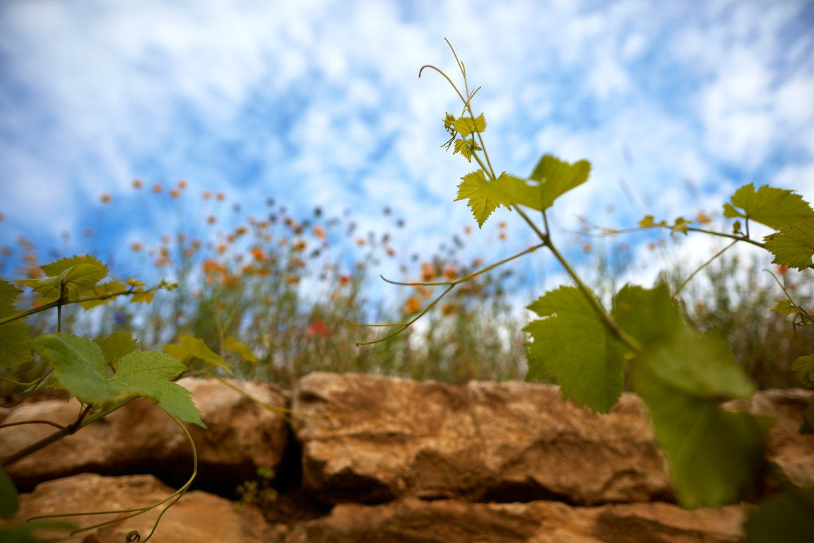 Biodynamy respects vine and its environment