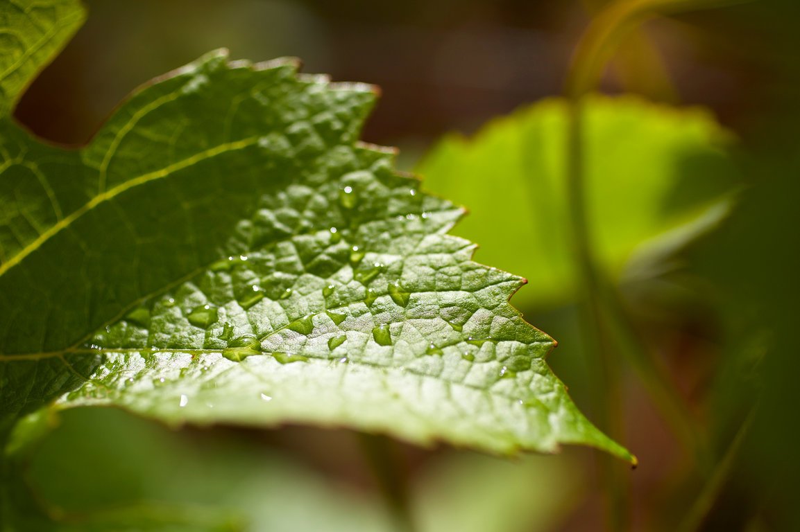 Morning dew on a vine leaf - Domaine Michel Magnien