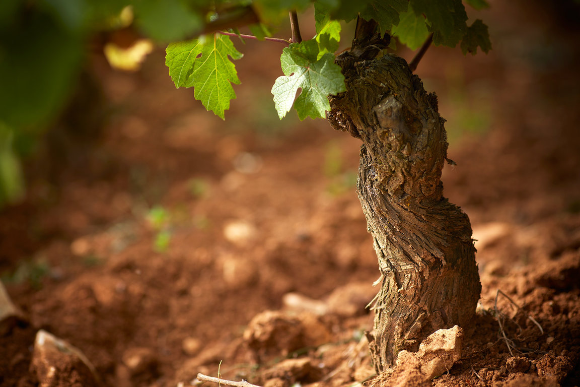 Vine grows - Domaine Michel Magnien