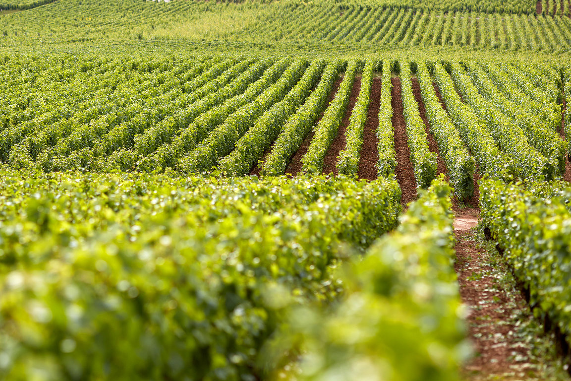 Vine rows at Domaine Michel Magnien