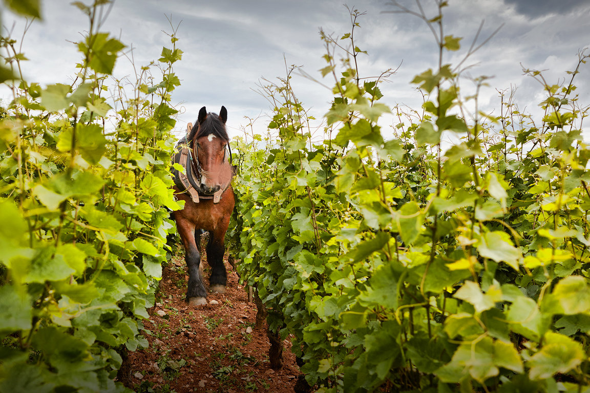 Plowing plots with horse at Domaine Michel Magnien