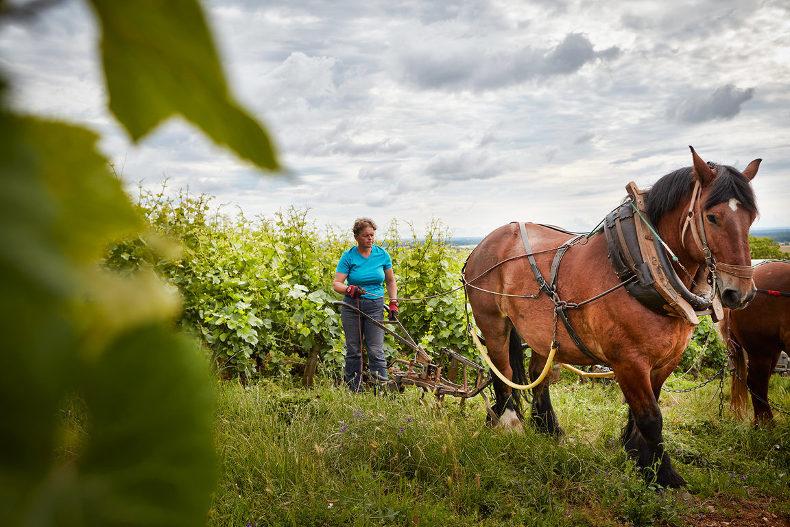 Plowing with horse in Domaine Michel Magnien's vines