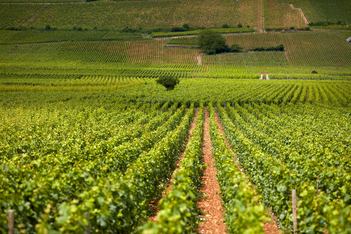 Vine rows at Frédéric Magnien